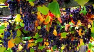 un ceo de uvas
